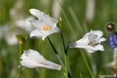 Blühende Alpen-Paradieslilie