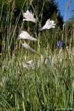 Eine Alpen-Paradieslilie auf einer Wiese in den französischen Alpen