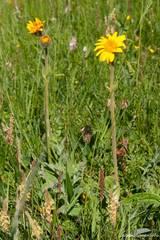 Blühende Arnika auf einer Wiese in den französischen Alpen