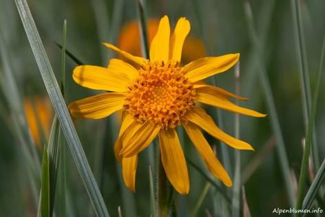 Gelbe Blüte einer Arnika (Arnica montana)
