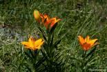 Drei blühende Feuer-Lilien