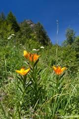 Blühende Feuer-Lilien in den französischen Alpen
