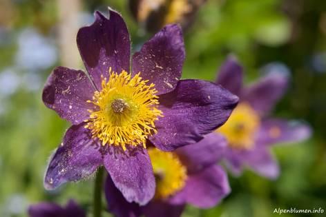 Blüte einer Kuhschelle (Pulsatilla vulgaris)
