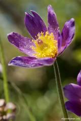 Violette Blüte einer Kuhschelle