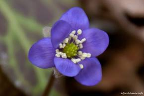 Kleine Blüte eines Leberblümchens