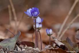 Leberblümchen zu Beginn der Blütezeit