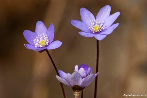 Blühende Leberblümchen