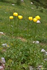 Eine Trollblume in den Alpen